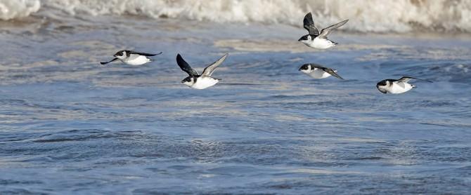 바다 위를 날고 있는 겨울 철새 바다쇠오리. - RSPB 제공